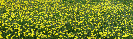 The Dandelions. Royalty Free Stock Photography