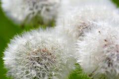 dandelions Zdjęcie Royalty Free
