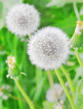 Dandelions Stock Photography
