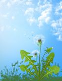Dandelions. In wind on light blue background Royalty Free Stock Photo