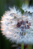 Dandelions #6. A lot of white dandelions Royalty Free Stock Image