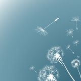 Dandelions Stock Image