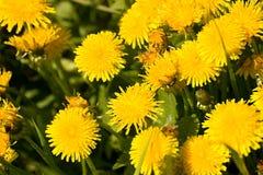 dandelions Fotografia de Stock