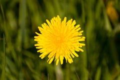 dandelions Fotografia de Stock Royalty Free