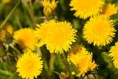 dandelions Imagem de Stock