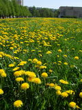 Dandelions. Field with young yellow dandelions Royalty Free Stock Images