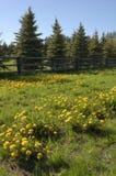 Dandelions. A lot of dandelion flowers in a green meadow Stock Photo