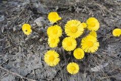 dandelions Foto de Stock