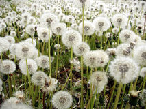 Dandelions. Field of dandelions Royalty Free Stock Photos