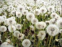 Dandelions. Field of dandelions royalty free stock photos