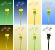 Dandelions Stock Photos