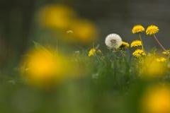 dandelions Imagens de Stock Royalty Free