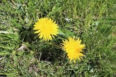 dandelions fotos de stock royalty free