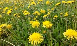dandelions Fotografia Stock Libera da Diritti