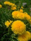 dandelions Fotografia Royalty Free