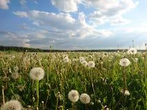 dandelions Foto de Stock Royalty Free