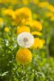 Dandelions. One white fading dandelion among yellow dandelions Royalty Free Stock Photography