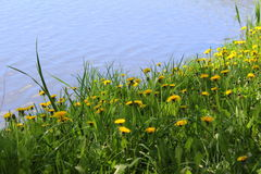 Dandelions against the lake royalty free stock image