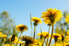 Dandelions Against The Sky. The dandelion field is the symbol of the Finnish summer. The flowers reach for the sunny sky stock image