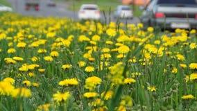 Dandelions along highway road stock video