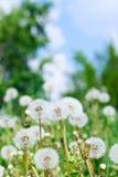 Dandelions And Sky Stock Photos