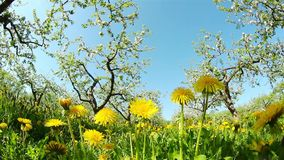Dandelions in the apple orchard. Shooting at fisheye stock video footage