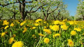 Dandelions in the apple orchard. Shooting with slider stock footage