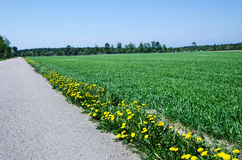Dandelions At Road Side Stock Image