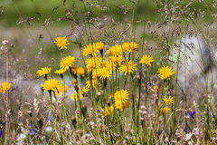 Dandelions in the Austrian Alps Royalty Free Stock Photos
