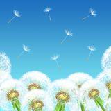 Dandelions on a background of blue sky Stock Images
