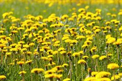 Dandelions background Royalty Free Stock Photos