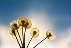 Dandelions in backlight. Royalty Free Stock Photography