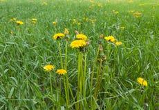 Dandelions. Beautiful Dandelions flowering in the grass field Stock Photography