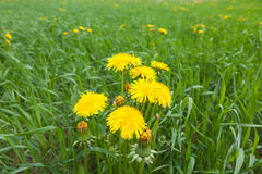 Dandelions Royalty Free Stock Photo