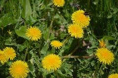 Dandelions and Bee Stock Photo