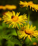 Dandelions and bee Royalty Free Stock Image