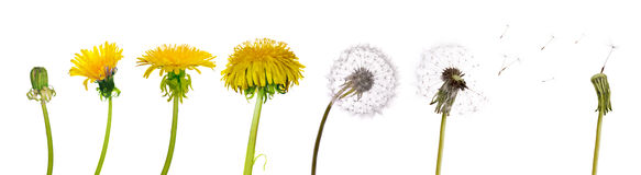 Dandelions from the begining to senility Stock Image