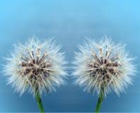dandelions biel dwa Obrazy Stock