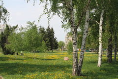 Dandelions in the birches. Summer park . blooms all around. nature Royalty Free Stock Photos