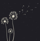 Dandelions on the black background Royalty Free Stock Image