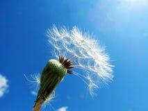 Dandelions blaknący Obrazy Stock