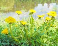Dandelions blisko nawadniają Zdjęcia Royalty Free