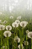 Dandelions bloomed Royalty Free Stock Images