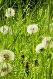 Dandelions bloomed Royalty Free Stock Photos