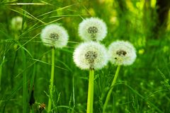 Dandelions bloomed Royalty Free Stock Photography