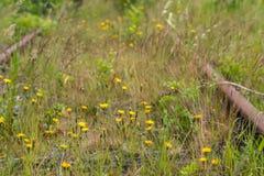 Dandelions blooming between rusty railroad stock images