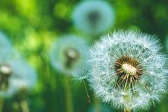 Dandelions blowball głowa pod słońce racami przygotowywa zaczynać ziarna downwind Obrazy Royalty Free