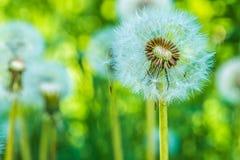 Dandelions blowballs przygotowywają zaczynać ziarna downwind Zdjęcia Royalty Free