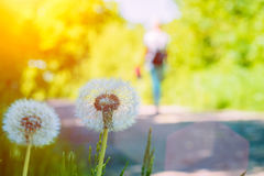 The dandelions blowballs under sun flares near walk path Stock Images