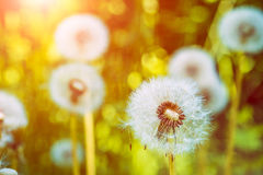 The dandelions blowballs under sun flares are ready to start seeds downwind.  Stock Photo